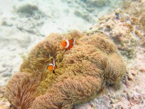 波照間島のカクレクマノミ