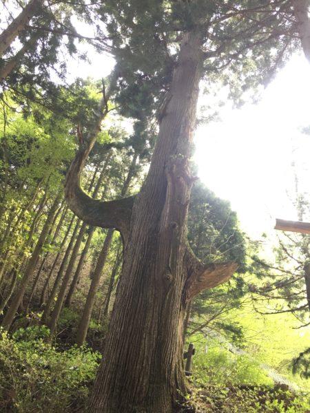 天狗の腰掛け杉