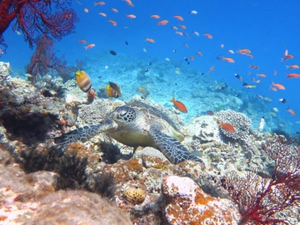 八重干瀬のウミガメ