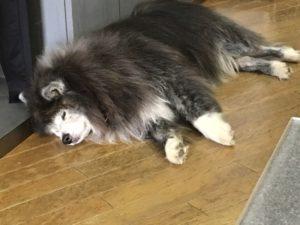 寝ている黒と白の犬
