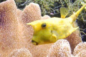 サンゴ礁とハコフグ